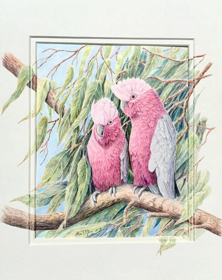 Pair of Galahs in a tree WA